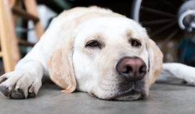 Yellow lab. A middle aged Yellow Labrador Retriever lies on the garage floor. A ladder and bicycle out of focus in the background. Grey concrete floor royalty free stock images