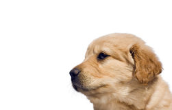 Yellow lab mix puppy, isolated with copy space Stock Photos