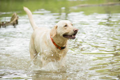 Yellow lab playing in Water Stock Photos