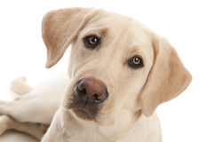 Yellow Lab Royalty Free Stock Images