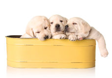 Yellow lab puppies. Three yellow lab puppies in a yellow container stock image