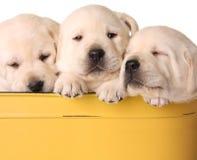 Yellow lab puppies. Three yellow lab puppies, three weeks old Stock Image