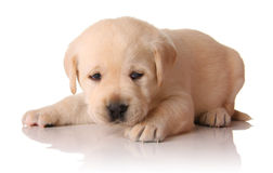 Yellow lab puppy. Three weeks old royalty free stock photography