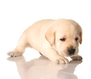 Yellow lab puppy. Isolated on white, three weeks old royalty free stock photos