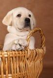 Yellow lab puppy royalty free stock photo