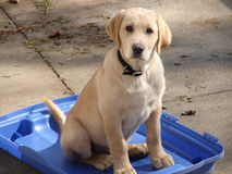 Yellow Lab Puppy Stock Image