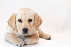 Yellow lab puppy. On white background Royalty Free Stock Images