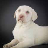 Yellow Lab Puppy Stock Images