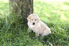 Yellow_lab_puppy Royalty-vrije Stock Afbeelding