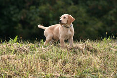 Yellow Lab Puppy Royalty Free Stock Images