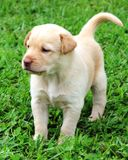 Yellow Lab puppy. A cute Yellow Lab puppy standing in a grassy field royalty free stock photography