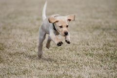 Yellow Lab Puppy Playfully Jumps. Jumping yellow Labrador Retriever royalty free stock photo
