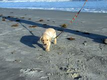 Yellow lab puppy walking down isle of palms South Carolina beach.  Royalty Free Stock Photo