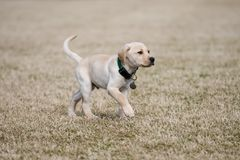 Yellow Lab Puppy Walks Cautiously. A yellow lab puppy carefully walks across an open field royalty free stock photos