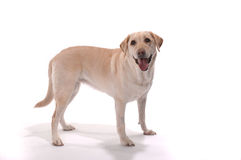 Yellow lab retriever standing white background Royalty Free Stock Image