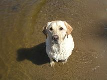 Yellow lab in river. Water wet dog summer Stock Image