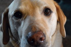 Yellow Lab Royalty Free Stock Image
