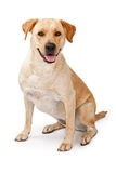 Yellow Lab Sitting Down Stock Photos