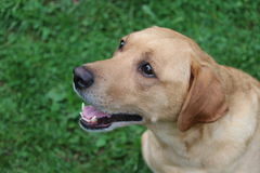 Yellow lab. The smiling face of a yellow lab Royalty Free Stock Images