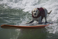 Yellow Lab surfing. Yellow Labrador Retriever surfing at the beach Stock Photography