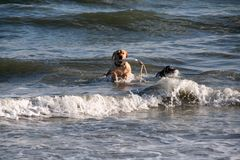Yellow lab with toy in his mouth is jumping through waves at the beach in Charleston South Carolina. Yellow lab with toy in his mouth is jumping through waves Royalty Free Stock Images