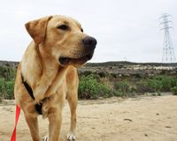 Yellow Lab on a Walk.  Stock Images