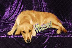 Yellow Lab 'Whatever' Stock Images