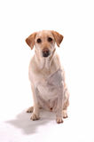 Yellow lab on white backround attentive Royalty Free Stock Images