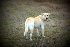 Yellow Lab. In winter field Royalty Free Stock Photos