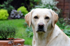 Free Yellow Labrador Royalty Free Stock Images - 19204379