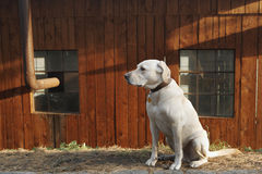 Yellow labrador Royalty Free Stock Photo