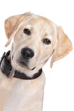 Yellow Labrador Stock Photos