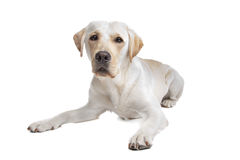 Yellow Labrador Retriever Dog With Bandana Stock Image
