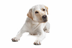 Free Yellow Labrador Royalty Free Stock Images - 25082249