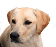 Yellow labrador Royalty Free Stock Photography