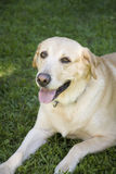 Yellow labrador Royalty Free Stock Image
