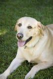 Yellow labrador royalty free stock image