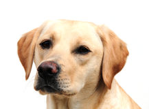 Yellow labrador Stock Photography