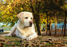 Yellow labrador in autumn Royalty Free Stock Photos