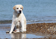 A yellow labrador in the beach close up Royalty Free Stock Photo