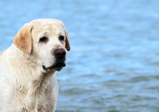 A yellow labrador in the beach close up Royalty Free Stock Images