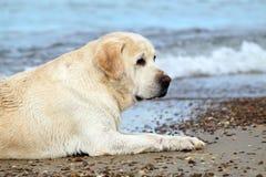 A yellow labrador in the beach close up Stock Photography