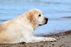 A yellow labrador in the beach close up Stock Photo