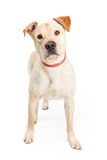 Yellow Labrador Cross Standing Royalty Free Stock Image