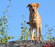 Yellow Labrador dog. Picture of a beautiful yellow Labrador dog outside Royalty Free Stock Photos