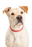 Yellow Labrador Dog Closeup Royalty Free Stock Images