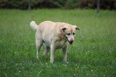 Yellow labrador dog in nature royalty free stock image