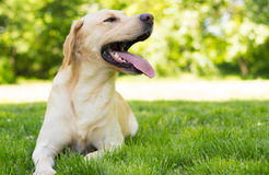 Yellow Labrador dog in the park Stock Photo
