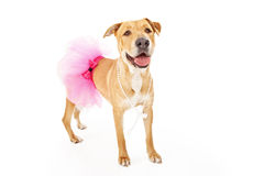 Yellow Labrador Dog in Pink Tutu Stock Photos