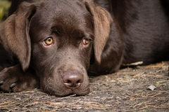 Yellow labrador dog on the send. Brown yellow labrador retriever dog lonely lying on the grownd Stock Image